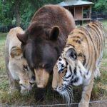 A história do leão, do urso e do tigre que foram salvos de donos cruéis e decidiram formar a sua própria manada e viver em família