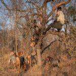 45 rinocerontes são salvos por cachorros treinados na áfrica